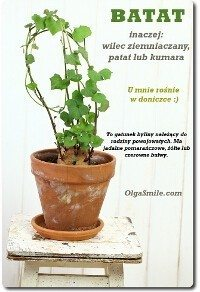 Batat w doniczce jako roślina ozdobna