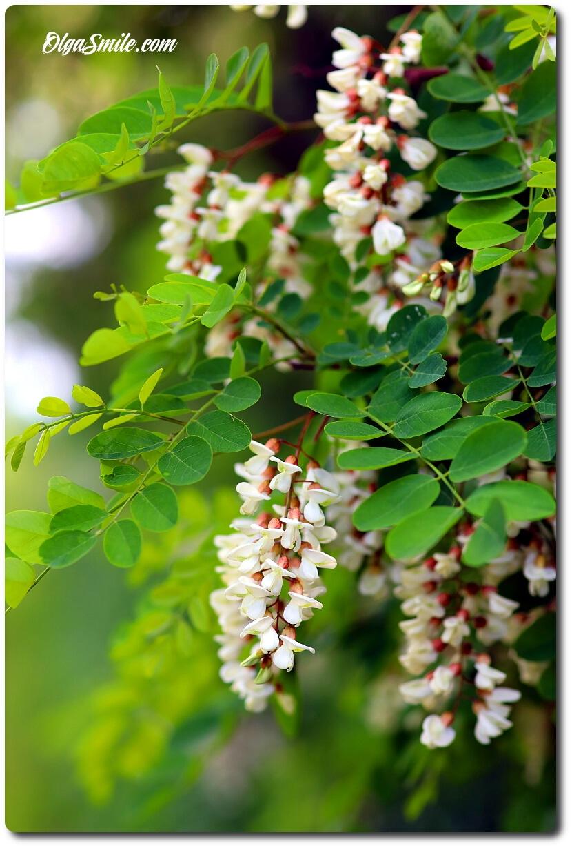 Kwitnąca robinia akacjowa