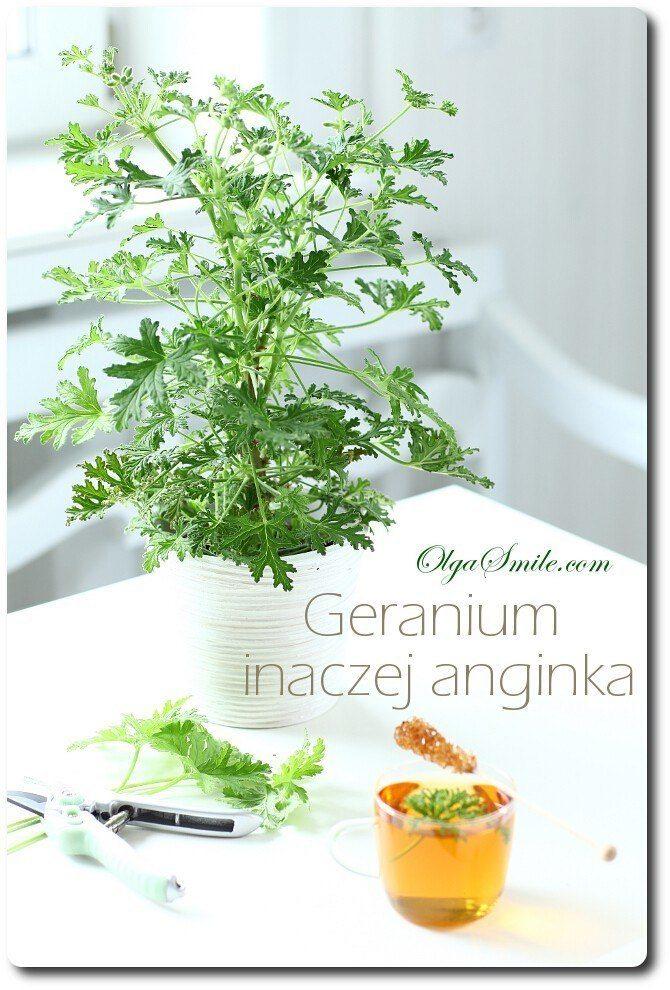 Geranium anginka
