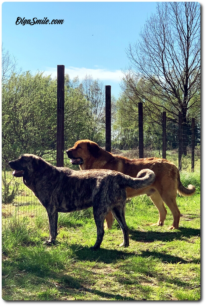 Moje psy Mastify Hiszpańskie